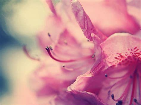 pink flower wallpapers wallpaper cave