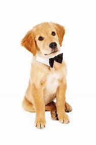 Golden Retriever Puppy with Bow Tie