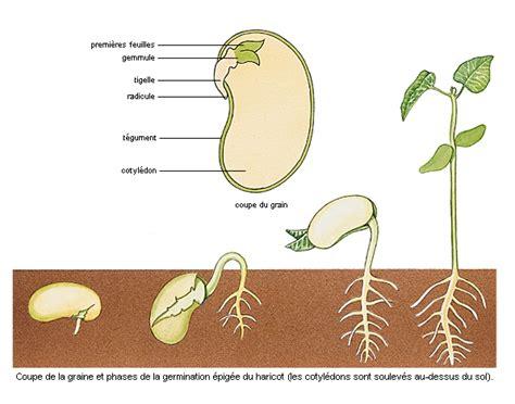 explique les d une graine et aussi un lexique