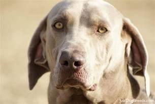 grunt weimaraner dog breeds
