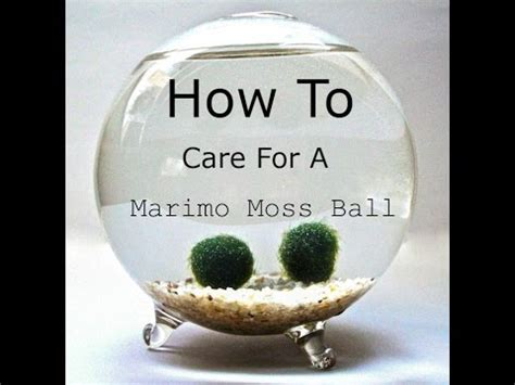 How To Care For A Marimo Moss Ball (no Commentary) Youtube