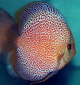 Caring For Discus Fish – The Aquatic Library