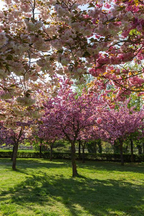 flowering cherry tree problems types of flowering cherry trees