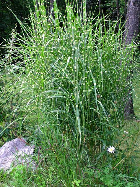 transplanting ornamental grass zebra ornamental grass care tips for growing zebra grass plants dekorativt gr 228 s gr 228 s och