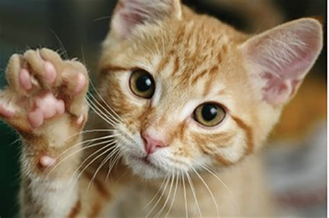 declawing cats cat declawing ban gains support of veterinarians around the state niagara falls reporter