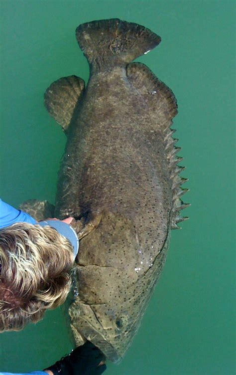 goliath grouper water hunter salt lb tom