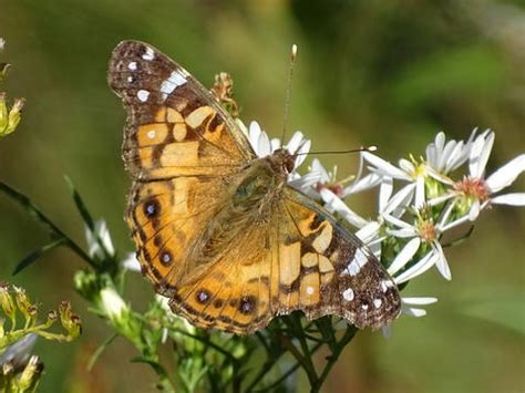 american painted lady butterfly identification facts