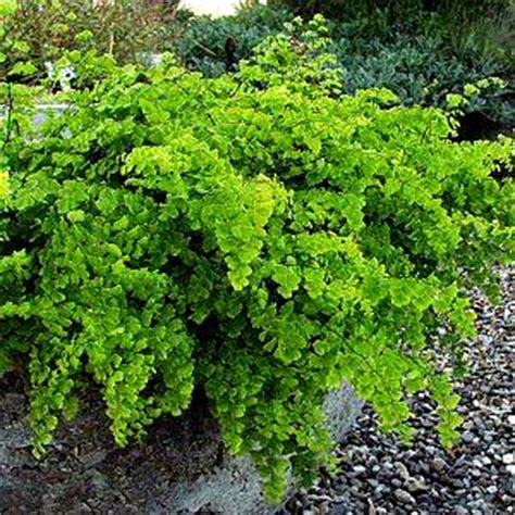 adiantum capillus veneris banksianum  san marcos growers