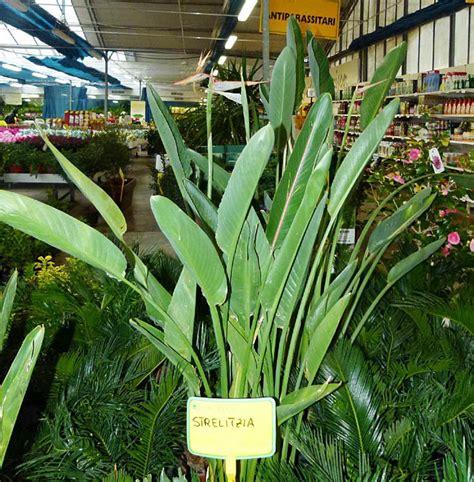 strelitzia reginae in vaso strelitizia strelitziaceae coltivazione strelitizia