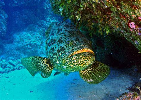 itajara fish grouper kanic goliath wikipedia commons wikimedia underwater atlantic wiki groupers belize reef 1024 kritiek iucn status 2006