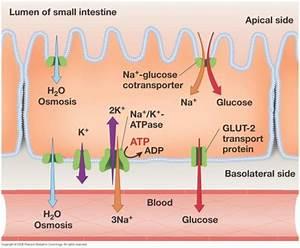 Transport Across Cell Membranes  U2013 Tcbiologyalevel