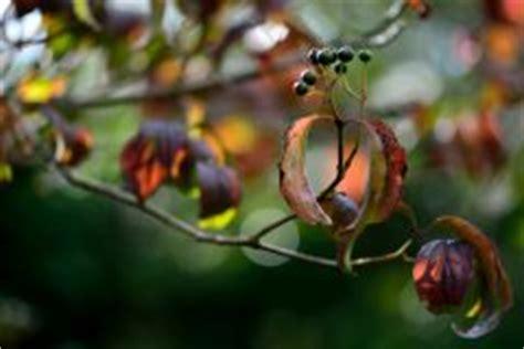 roter hartriegel schneiden roter hartriegel 187 pflanzen pflegen vermehren und mehr