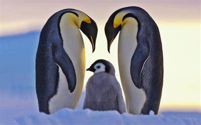 herunterladen hintergrundbild pinguine familie tierwelt