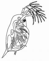 Flea Drawing Getdrawings sketch template