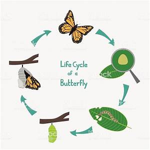 Life Cycle Of A Butterfly Diagram Stock Illustration - Download Image Now