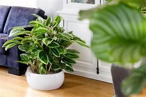 Pflanzen Für Gesundes Raumklima : pflanzen f r menschen ~ Indierocktalk.com Haus und Dekorationen