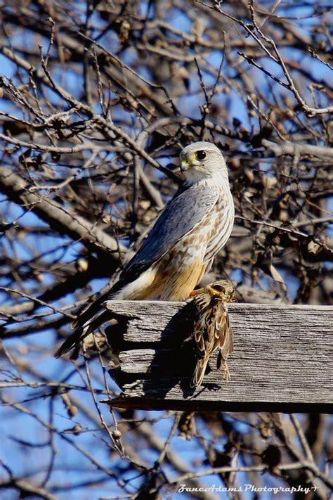 north central texas birds merlin