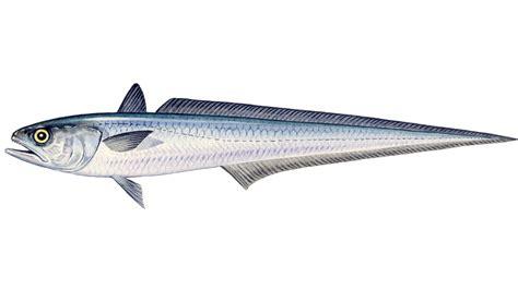 hoki sustainable fish marine stewardship council