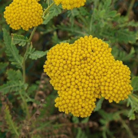gelb bluehende pflanzen und blumen bestimmen