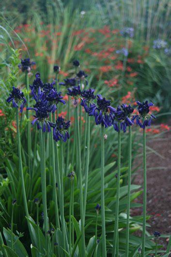 agapanthus plant varieties care garden design