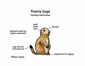 Prairie Dogs  General Information