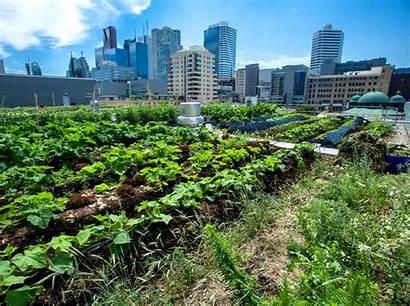 Urban Farm Ryerson Homegrown Rye Greenroofs Roof