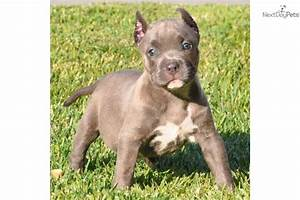 American Pit Bull Terrier puppy for sale near Los Angeles ...