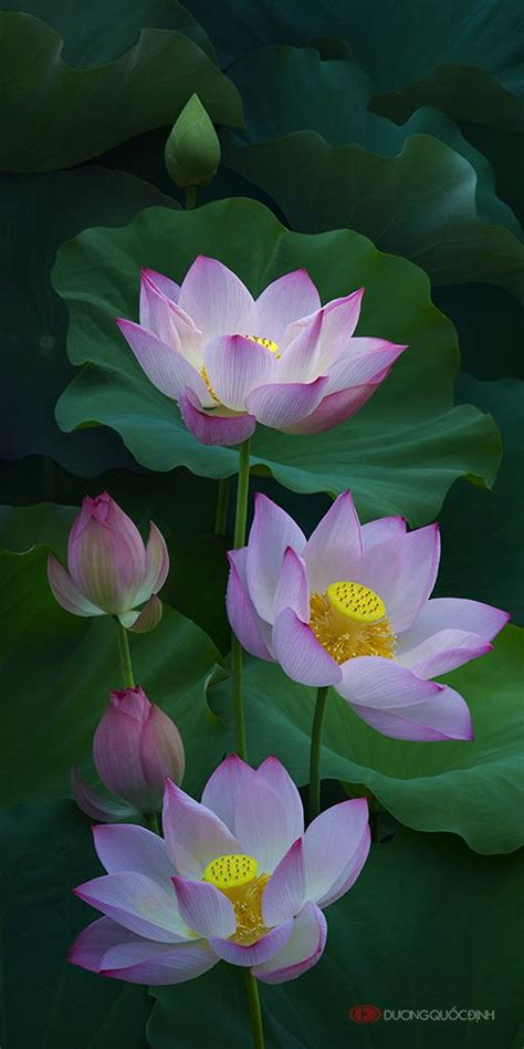 photo duong quoc dinh lotus tsvety lotosa