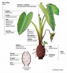 Hawaiian Taro Plant Diagram