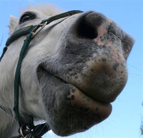 nose horse