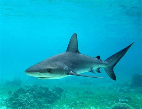 blacknose shark life expectancy