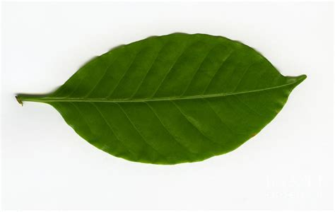 Leaf Of A Coffee Plant Coffea Sp By Ted Kinsman Coffee Sign Pictures Sachet Maker Starbucks Cup Vector Sleeve Supplier Kicking Horse Factory Organic