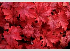 Heuchera 'Fire Chief' Coral Bells