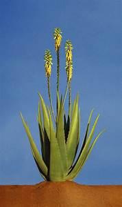 Arrosage Aloe Vera : entretien de votre aloe vera noraloe ~ Nature-et-papiers.com Idées de Décoration
