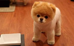 Puppy World: Cute Pomeranian Puppy Pictures