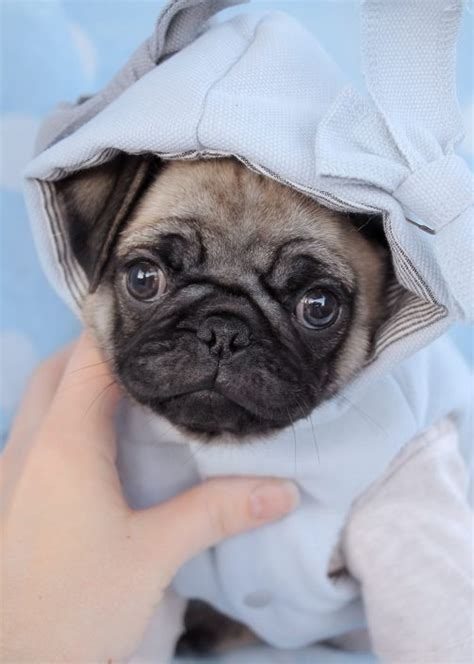 Pug Puppies For Sale By Teacups Puppies And Boutique Teacups Puppies Boutique