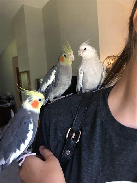 Cockatiel Birds For Sale Monticello Mn 335418