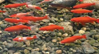 Fish For Small Garden Ponds  Goldfish, Comets & Shubunkins