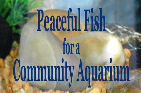 peaceful community fish   freshwater aquarium