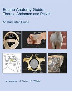 Equine Anatomy Guide  Thorax  Abdomen And Pelvis Ebook By