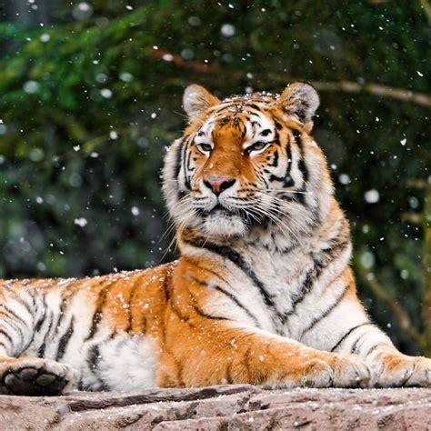 wallpaper siberian tiger elena tigress snowfall hd