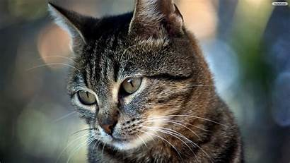 Cat Wallpapers Beauty