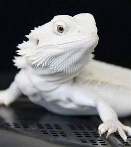 The most beautiful white beardie to be seen:) Tom's and ...
