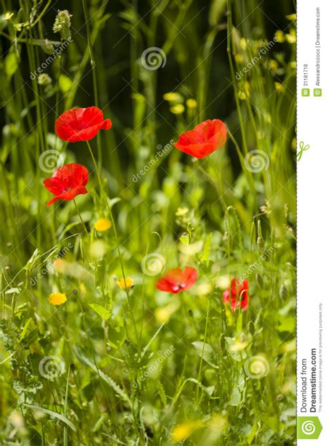 poppy bloom time red poppy flowers royalty free stock photos image 31181718