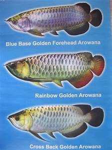 Types Of Arowana- Blue Base Golden Forehead Arowana ...