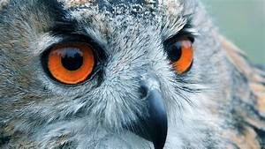 Owl, Wallpaper, For, Computer, 65, Images