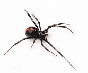 black widow spider - Google Search | Spiders | Pinterest ...