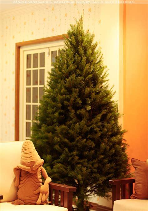 douglas fir christmas tree casa veneracion