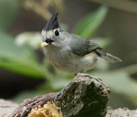Black-crested Titmouse - Sabal Palm Grove Sanctuary ...