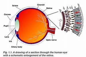 Simple Anatomy Of The Retina By Helga Kolb  U2013 Webvision